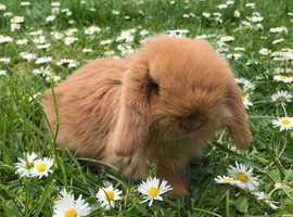 Beautiful Baby Mini Lop Rabbits For Sale