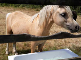 FREE TO A GOOD HOME Palomino Welsh Section A