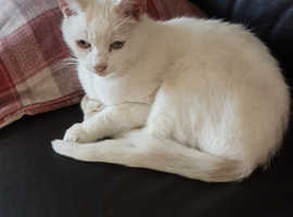 Deaf white loving cat  (rehoming fee applies as per site T's and C's)