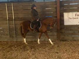 13hh chestnut mare - perfect children's pony