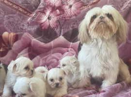 Gorgeous malshi babies imperial shih tzu/ maltese terrier