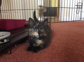 Mischevious, characterful kitten