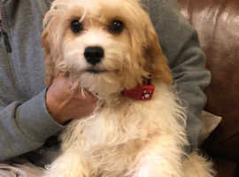 6.5 month cavachon for new home