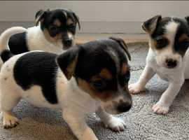 Jackrussel puppies
