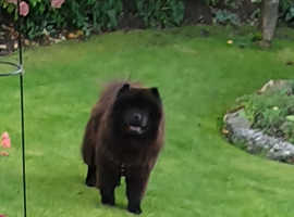 Gorgeous Girl Chow Chow Kennel Club Registered with Papers