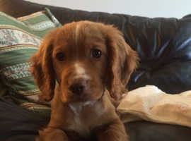WORKING GOLD/RED COCKER SPANIEL BITCH WANTED