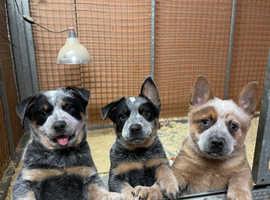 Australian Cattle dog puppy's farm bred 1 LEFT