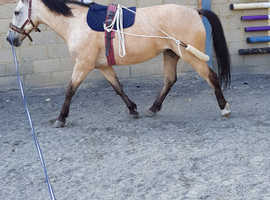 Horse Share  15 hh