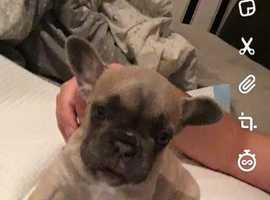 French 8 week old female bulldog for sale