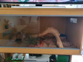 Adult amel corn snake for sale
