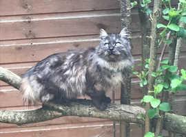Long coated kittens for new loving homes