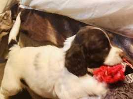 Last boy KC registered English Springer Spaniel pups