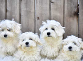 Bichon Maltese Puppies