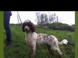 Proven KC Fully health tested miniature poodle chocolate & white for stud