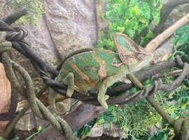 Chameleon and massive vivarium