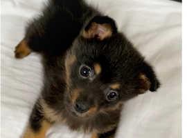 Little pomchi boy puppy