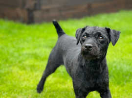 Smooth patterdale terrier