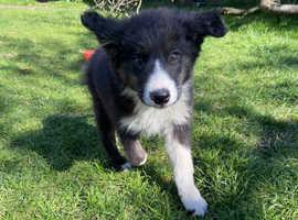 Sheepdog pup