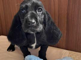 Basset hound x cocker spaniel (hush hound)
