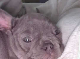 French Bulldog puppy lilac and tan ready now liverpool