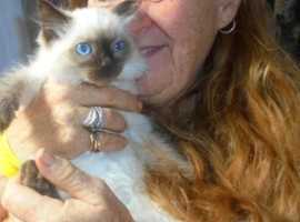 Birman Seal/Tortie and Flame Point Kittens ready leave for forever loving homes now. Indoor cats onl