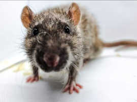 Rats for adoption/sale ASAP.  2 for £25