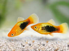 YOUNG PLATY FISH 4 SALE