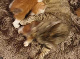 bengal x siamese kittens
