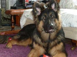 Handsome German Shepherd For Stud