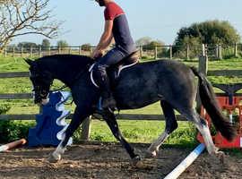 14.1 pony club pony/ Allrounder