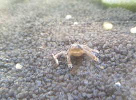 2x African dwarf frogs, assassin snail and ram horn snail.