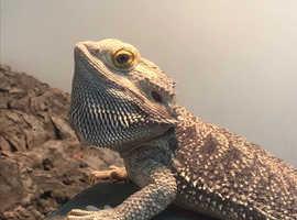 Male hypo dragon