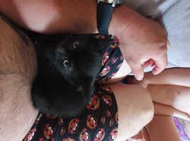 10 week boy kitten