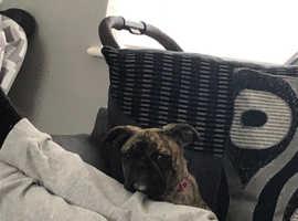 Frenchbulldog x pug