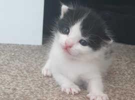 4 beautiful black and white kittens