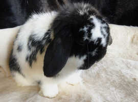 Mini lop doe VACCINATED
