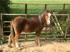 Section A welsh mountain gelding pony