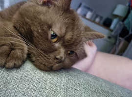 URGENT Chocolate British short hair kitten for rehome