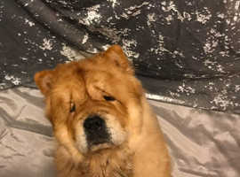 Red chow chow stud