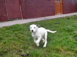 Lurcher x pointer Labrador's