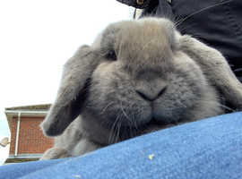 Mini Lop Doe Looking For PET ONLY Home