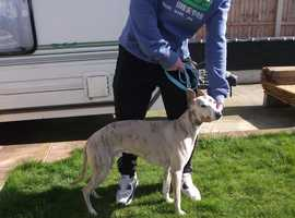 FAWN BRINDLE WHIPPET FOR STUD ONLY