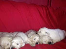 Beautiful KC Golden Retriever Puppies