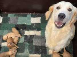 GOLDENDOODLE PUPPIES, KC PARENTS, FROM LICENCED BREEDER