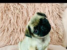 Beautiful pug baby girl, ready now