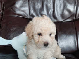 Lhasapoo puppies for sale SOLD