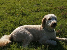 A beautiful cockapoo girl