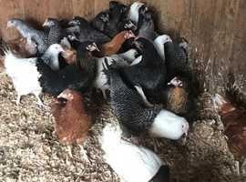 POL hybrid chickens