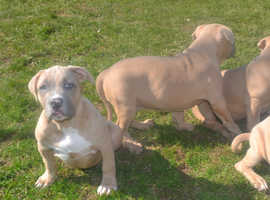 ABKC Pocket American Bully Puppies For Sale