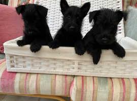 Quality Scottish terrier puppies